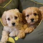 Choosing the right puppy for you and your family – 10 things to consider