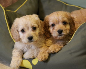 Adorable Cockapoo Puppies For Sale In Ontario