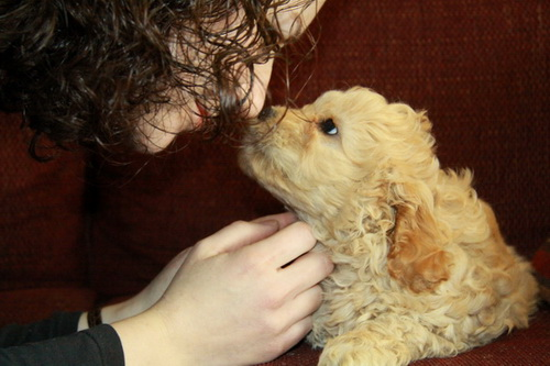 This little Cockapoo puppy for sale loves the personal attention