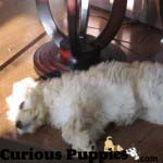 Goldendoodle puppy sleeping