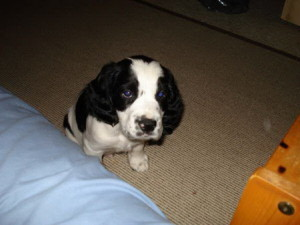 Cute Springer Spaniel Puppy for sale: Chester