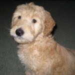Goldendoodle Pup For Sale -Huxley