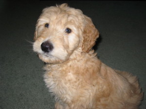 Goldendoodle Pup For Sale -Huxley