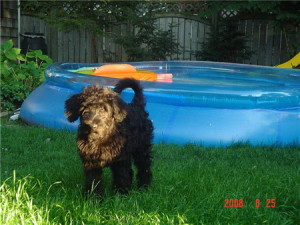 Black Labradoodle (labrador Retriever x Poodle mix) Puppy - Guinness