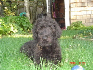 Guinness-Black labradoodle puppy we had for sale