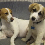 Hurley-Curious Jack Russell Puppy For Sale