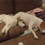 Hurley and Luna Jack Russell Terrier Puppy BFF