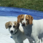 Hurley and Luna Jack Russell Terrier Mix Puppies At The Pool