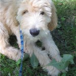 Meet Huxley, a goldendoodle puppy