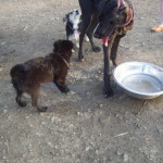 Koby - a Lab/Shepherd Puppy meeting new friends
