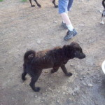 Koby - Puppy Playing in the Dog Park
