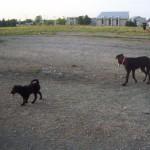 Labrador x Shepherd Puppy running in the dog park