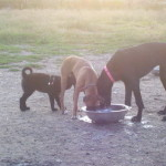Mix Dog Breed Lab/Shepherd