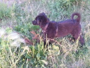 Labrador Retriever x Shepherd Puppy