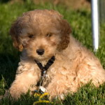 Meg-Beautiful Cockapoo Puppy For Sale