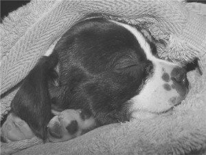 Molly-Sleeping Boston Terrier Beagle Mix Puppy