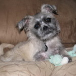 Mya-ShihTzu Pug Puppy we had for sale