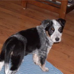 Mya - Blue Heeler Mix Breed - Puppy