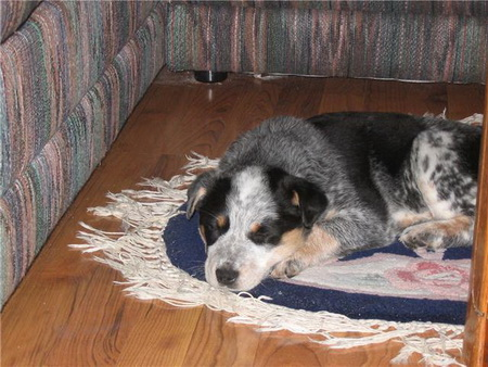 - Blue Heeler Mix Breed - Puppy