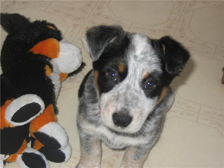 Blue Heelers For Sale : Mya u2013 blue heeler mix : puppies for sale : dogs for sale in ontario