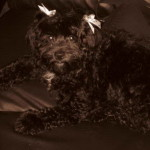 Sodapop-Shihpoo puppy for sale