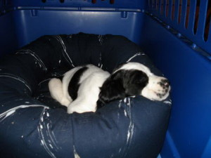 Daryll's Dog: Chester - Springer Spaniel Puppies For Sale