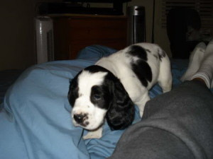 One of our previously sold Springer Spaniel Puppies For Sale