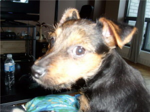 One of our Yorkie x Chihuahua or yorkiehuahua pupp for sale