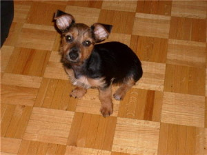 This was one of our Puppies for Sale Yorkie x Chihuahua or yorkiehuahua