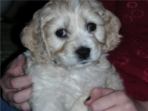 Freddie sweet Cockapoo (Cocker Spaniel x Mini Poodle) puppy we had for sale