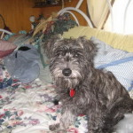 Shay - Schnoodle Puppy for sale