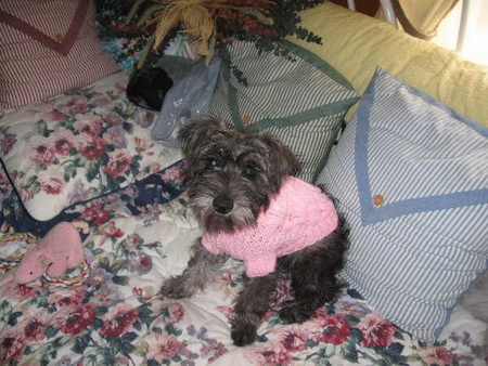 Shay - Schnoodle Puppy with sweater