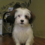 Bentley, A Sweet Shih Tzu Puppy!