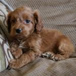 Rover the Cockapoo as a puppy