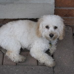Ringo – Cockapoo Puppy We Had For Sale – Testimonial