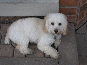 Ringo-Cockapoo Puppy For Sale - a Cocker Spaniel - Poodle Mix Breed