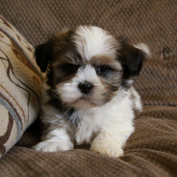 ShihTzu Puppies : Pups for sale : Puppies for sale in Ontario, Canada