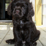 Choosing Cocker Spaniel Puppies For Sale