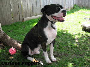 Boggle puppies for sale are high energy and lots of fun
