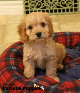"Who can say ""no"" to these cockapoo puppies for sale?"
