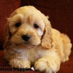 Cockapoo puppies for sale are always very sweet!