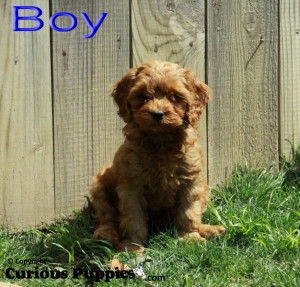 Outside picture of cockapoo puppies for sale in Ontario
