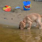 Caramel enjoying the beach - Cockers LOVE water!