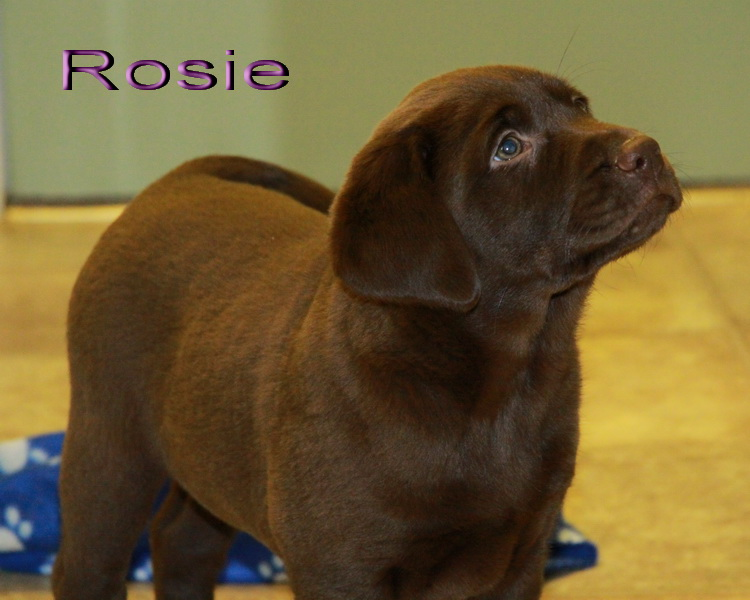 Rosie was one of our Chocolate Labrador Retriever Puppies For Sale