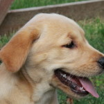 One of the most popular dogs in North America are Labrador Retriever Puppies For Sale