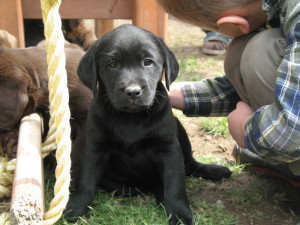 Labrador Retriever Puppies For Sale Love To Play With Our Kids