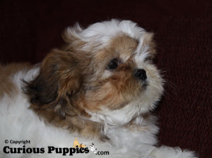 shichon puppies for sale - brown and white