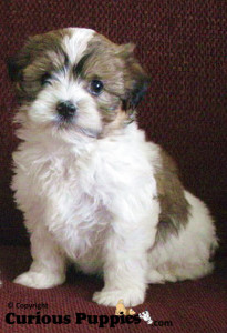 Cute little shorkie puppies for sale