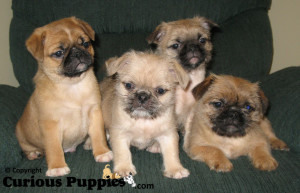 Shih Tzu x Pug (or Pugzu) puppies for sale can have a totally different look