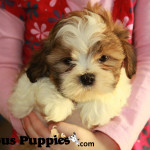 Our kids love to play with the puppies for sale - this puppy is a shichon